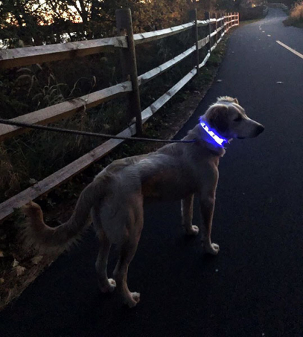 Max Mixed Breed rocking LED collar
