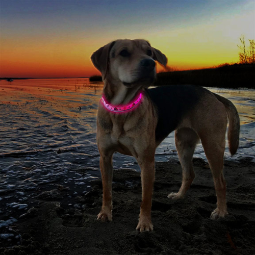 Dog standing on edge of beach shoreline at sunset wearing pink LED light up collar with sailboats