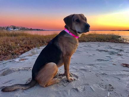 Rylee the sharpei beagle mix in LED Collar