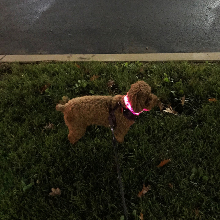 Red poodle Wellesley in LED collar
